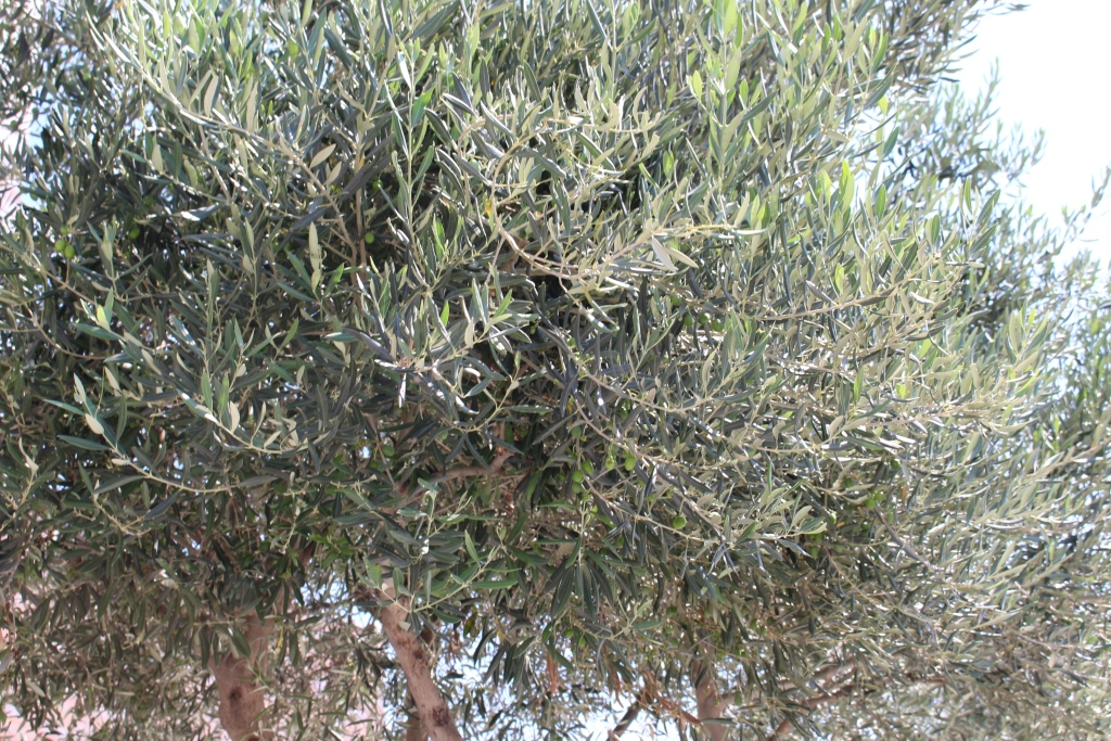 Campaña de tratamientos mosca del olivo